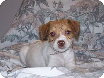 Terrier (Unknown Type, Medium)/Spaniel (Unknown Type) Mix Puppy for adoption in Green Cove Springs, Florida - Lilac