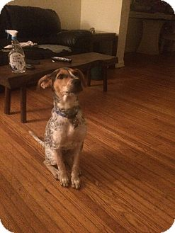 Bluetick Coonhound Mix Puppy for adoption in Lima, Pennsylvania - Cooper