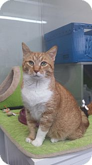 Domestic Shorthair Cat for adoption in Fort Lauderdale, Florida - Morris