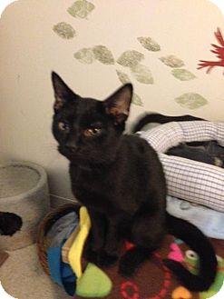 Domestic Shorthair Kitten for adoption in Columbus, Ohio - Tucci