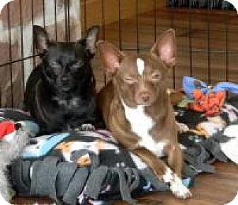 Chihuahua Dog for adoption in Mount Gretna, Pennsylvania - Barbie