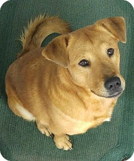 Golden Retriever Mix Dog for adoption in Eden, North Carolina - Sandy