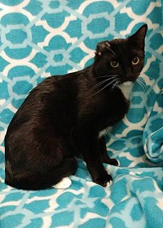 Domestic Shorthair Cat for adoption in Baton Rouge, Louisiana - Mary