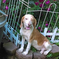 Adopt A Pet :: Rosie Chocolate Beagle - New Hartford, NY