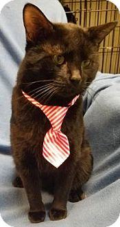 Domestic Shorthair Cat for adoption in Anderson, Indiana - Devon Hisster