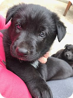 German Shepherd Dog/Golden Retriever Mix Puppy for adoption in Salem, Oregon - Trooper