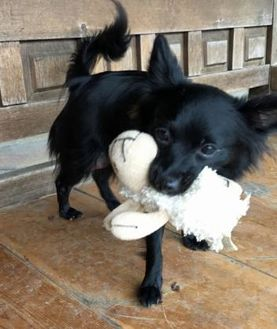 Chihuahua Mix Dog for adoption in Wimberley, Texas - Esme