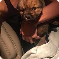 Adopt A Pet :: Hamster/Tater Tot - Allen, TX