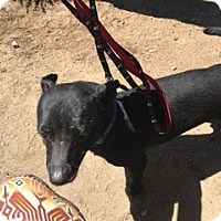 Chihuahua Mix Dog for adoption in Lucerne Valley, California - Hoss