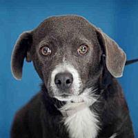 Adopt A Pet :: GREYSTOKE - Downey, CA