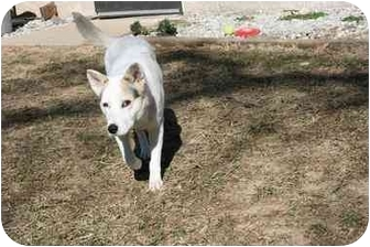 Australian Cattle Dog Mix Dog for adoption in Saint Charles, Missouri - Star