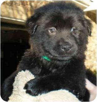 Golden Retriever/Labrador Retriever Mix Puppy for adoption in Marietta, Georgia - York