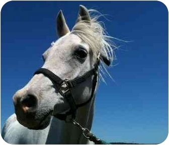 Arabian Mix for adoption in Sac, California - Silver