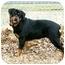 Photo 4 - Rottweiler Mix Dog for adoption in Muldrow, Oklahoma - SALLY