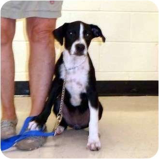 Hound (Unknown Type)/Terrier (Unknown Type, Medium) Mix Dog for adoption in McCormick, South Carolina - Ivey