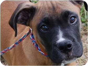 Boxer/Mastiff Mix Puppy for adoption in North Judson, Indiana - Jay