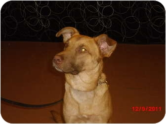 German Shepherd Dog/Retriever (Unknown Type) Mix Dog for adoption in Odessa, Florida - BUDDY