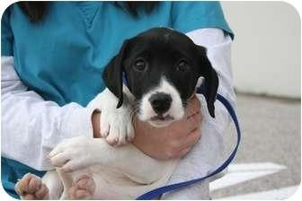 Pointer/Labrador Retriever Mix Puppy for adoption in O'Fallon, Missouri - Widow Tweed