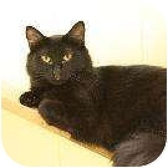 Domestic Shorthair Cat for adoption in Denver, Colorado - Starbuck