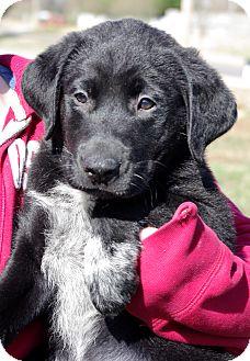Labrador Retriever Mix Puppy for adoption in Huntsville, Alabama - Agate