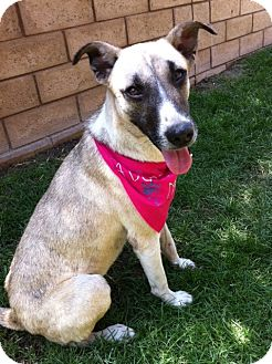 Belgian Malinois/German Shepherd Dog Mix Dog for adoption in El Cajon, California - GENTLE LEAH