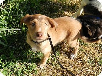 Australian Shepherd/Beagle Mix Puppy for adoption in Lawrenceburg, Tennessee - Tate