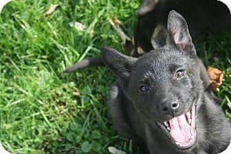 Shepherd (Unknown Type)/Labrador Retriever Mix Puppy for adoption in Morgantown, West Virginia - Frankie
