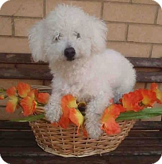 Miniature Poodle Mix Dog for adoption in Los Angeles, California - Sebastian