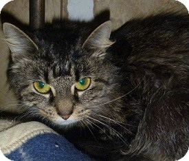 Domestic Longhair Cat for adoption in Hamburg, New York - Miss Meow