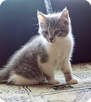 Domestic Shorthair Kitten for adoption in Marietta, Georgia - Ralph Waldo Emerson
