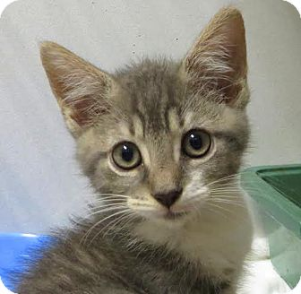Domestic Shorthair Kitten for adoption in Middletown, New York - Coolidge