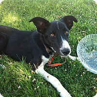 Adopt A Pet :: Chance - Phelan, CA