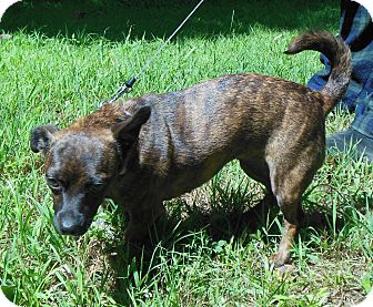 Chihuahua/Dachshund Mix Dog for adoption in Normandy, Tennessee - Dixie