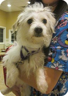 Westie, West Highland White Terrier/Wirehaired Fox Terrier Mix Dog for adoption in Oak Ridge, New Jersey - Nellie
