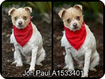 Terrier (Unknown Type, Small)/Norwich Terrier Mix Dog for adoption in Simi Valley, California - Jon Paul