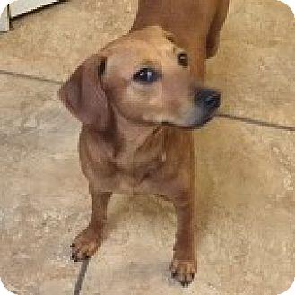 Dachshund Dog for adoption in Houston, Texas - Mayzie McGraw