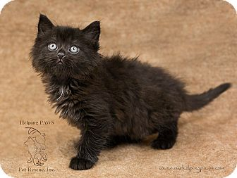 Domestic Longhair Kitten for adoption in Washburn, Wisconsin - Rainy Day