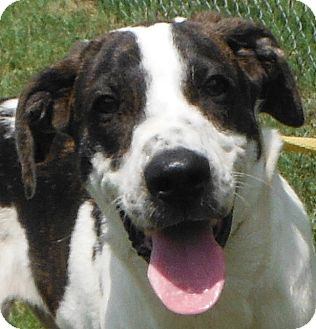 Pointer/Retriever (Unknown Type) Mix Puppy for adoption in Cedartown, Georgia - 29355707