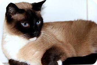 Siamese Cat for adoption in Bradenton, Florida - Gizmo