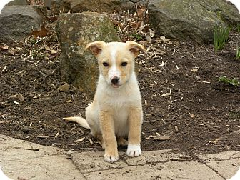 Husky/Retriever (Unknown Type) Mix Puppy for adoption in New Oxford, Pennsylvania - Jasper