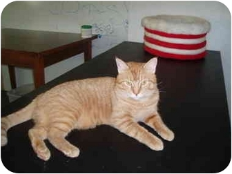 Domestic Shorthair Cat for adoption in Hamburg, New York - Evander