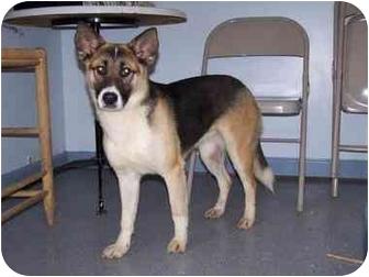Shepherd (Unknown Type)/Akita Mix Dog for adoption in New Carlisle, Indiana - Laura