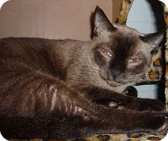 Burmese Cat for adoption in Dallas, Texas - Simon
