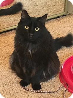 Maine Coon Cat for adoption in Los Angeles, California - Gent