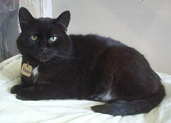 American Shorthair Cat for adoption in Montreal, Quebec - Nanoo