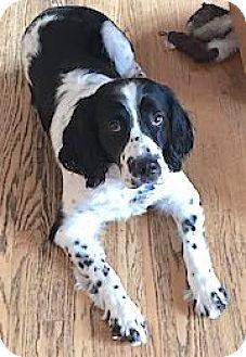 English Springer Spaniel Dog for adoption in Minneapolis, Minnesota - Jake