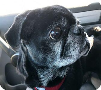 Pug Dog for adoption in Grapevine, Texas - Samsung