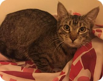 Domestic Shorthair Kitten for adoption in Flower Mound, Texas - Cleopatra