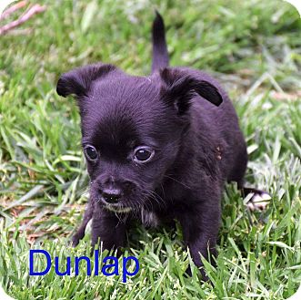 Terrier (Unknown Type, Small) Mix Puppy for adoption in Concord, California - Dunlap