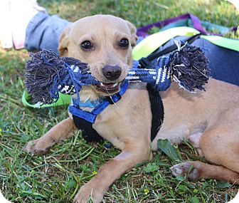 Dachshund/Chihuahua Mix Dog for adoption in Winters, California - Chance